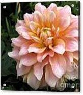 Dahlia Named Seattle Acrylic Print