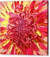 Dahlia Pom Acrylic Print