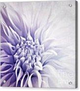 Dahlia Sun Acrylic Print