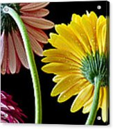 Dahlias Up-close Acrylic Print