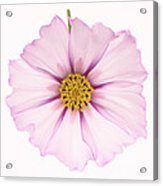Dainty Pink Cosmos On White Background. Acrylic Print