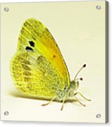 Dainty Sulphur Butterfly Acrylic Print