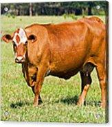 Dairy Cow Acrylic Print
