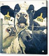 Dairy Cow Portrait Acrylic Print