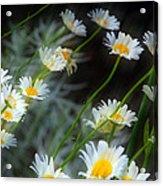 Daisies A Acrylic Print