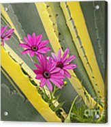 Daisies And Cactus Acrylic Print
