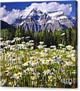 Daisies At Mount Robson Acrylic Print by Elena Elisseeva