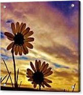 Daisies At Sundown  Acrylic Print