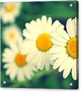 Daisies Acrylic Print by Candice Trimble