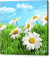 Daisies In Grass Against A Blue Sky Acrylic Print