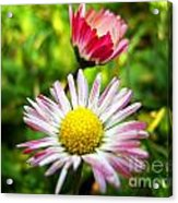 Daisies In Januray Acrylic Print