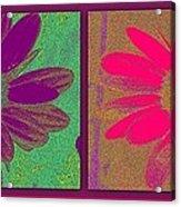 Daisies Purple Pink Acrylic Print