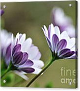 Daisies Seeking The Sunlight Acrylic Print
