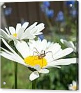 Daisies With Phalangiid Vistitor Acrylic Print