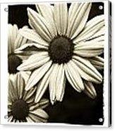 Daisy 1 Acrylic Print by Tanya Jacobson-Smith
