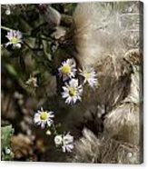 Daisy And Dandelion Acrylic Print by John Holloway