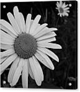 Daisy At Night Acrylic Print