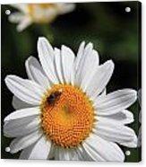 Daisy Bee Nice Acrylic Print