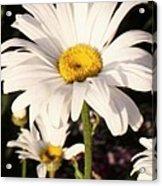 Daisy Close Up Acrylic Print