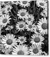 Daisy Cluster Vermont Flowers In Black And White Acrylic Print