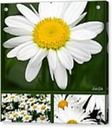 Daisy Collage Acrylic Print