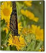Daisy Daisy Give Me Your Anther Do Acrylic Print