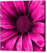 Daisy Daisy Neon Pink Acrylic Print