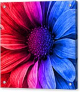 Daisy Daisy Red To Blue Acrylic Print