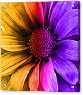 Daisy Daisy Yellow To Purple Acrylic Print