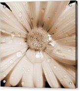 Daisy Dream Raindrops Sepia Acrylic Print
