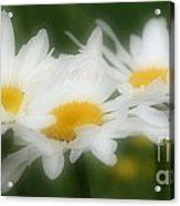Daisy Flower Trio Acrylic Print