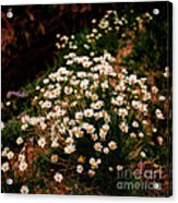 Daisy - Give Me Your Answer Do Acrylic Print