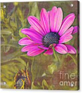 Daisy In Pink Acrylic Print