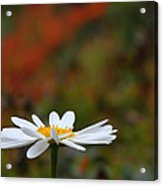 Daisy Acrylic Print by Old Pueblo Photography