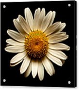 Daisy On Black Square Acrylic Print