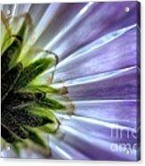 Daisy Petals Abstract Macro Acrylic Print