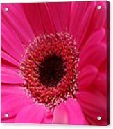 Daisy Pink Acrylic Print