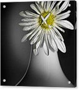 Daisy Pom Acrylic Print