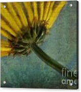 Daisy Reach Acrylic Print