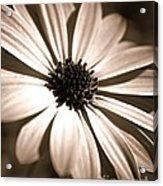 Daisy Shimmer Acrylic Print
