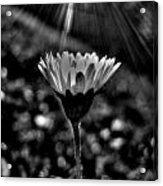 Monochrome Daisy Under Sun Acrylic Print