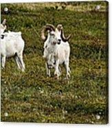 Dall Rams On Alert Acrylic Print