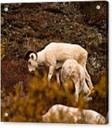 Dall Sheep Grazing Acrylic Print