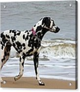 Dalmatian By The Sea Acrylic Print