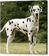 Dalmatian Dog Acrylic Print