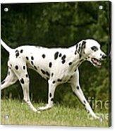 Dalmatian Running Acrylic Print