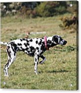 Dalmation Pretending To Be A Pointer Acrylic Print