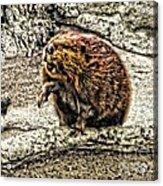 Dam Beaver Acrylic Print