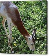 Dama Gazelle - National Zoo - 01137 Acrylic Print