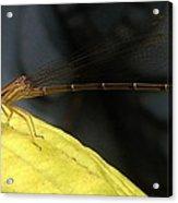 Damselfly With Gnat On Hosta Leaf Acrylic Print